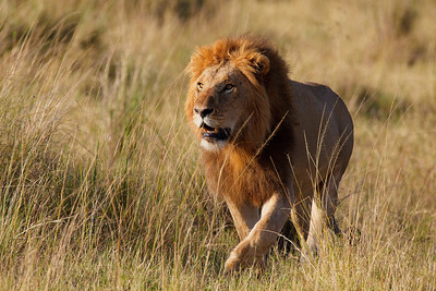 Lion at Masai Mara -- Look at this King of the Savannah.