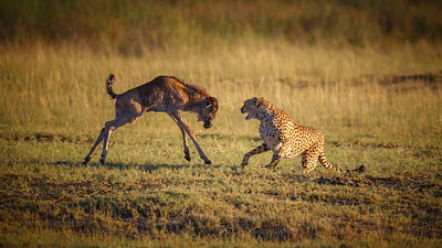 Cheetah Kills