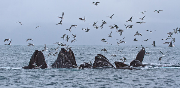 Humpback Whales fishing at Seward